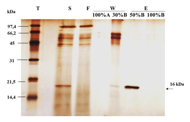 Figure 5   T: thang protein (GE-Healthcare); S: Mẫu dịch biểu hiện; F: Phân đoạn qua cột; W: Phân đoạn rửa cột; E: Phân đoạn dung ly