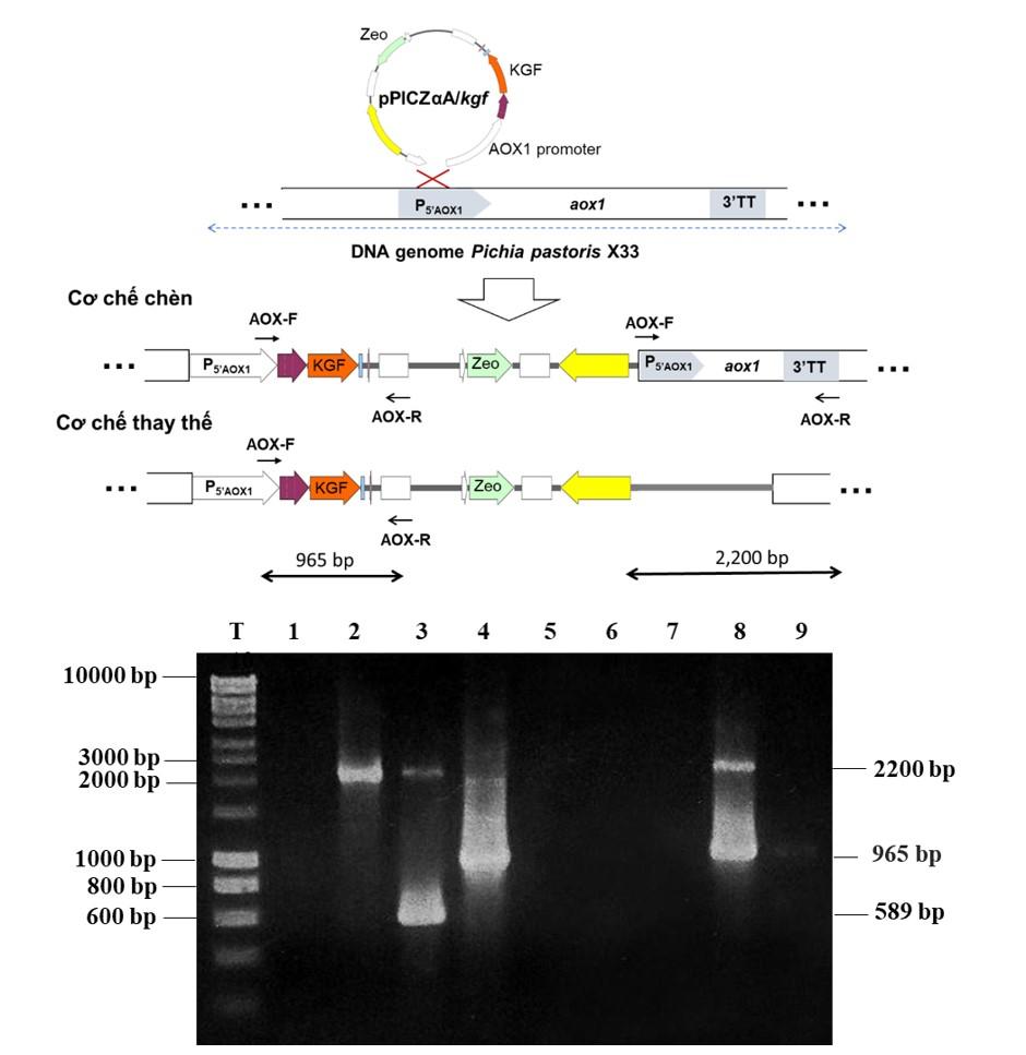 Figure 3   T: Thang DNA; 1. Chứng âm phản ứng PCR; 2. Sản phẩm PCR DNA bộ gen P. pastoris X33; 3. Sản phẩm PCR DNA bộ gen P. pastoris X33/pPICZαA; 4. Sản phẩm PCR plasmid tái tổ hợp pPICZαA/kgf; 5 - 9. Sản phẩm PCR DNA bộ gen của nấm men tái tổhợp P. pastoris X33::kgf