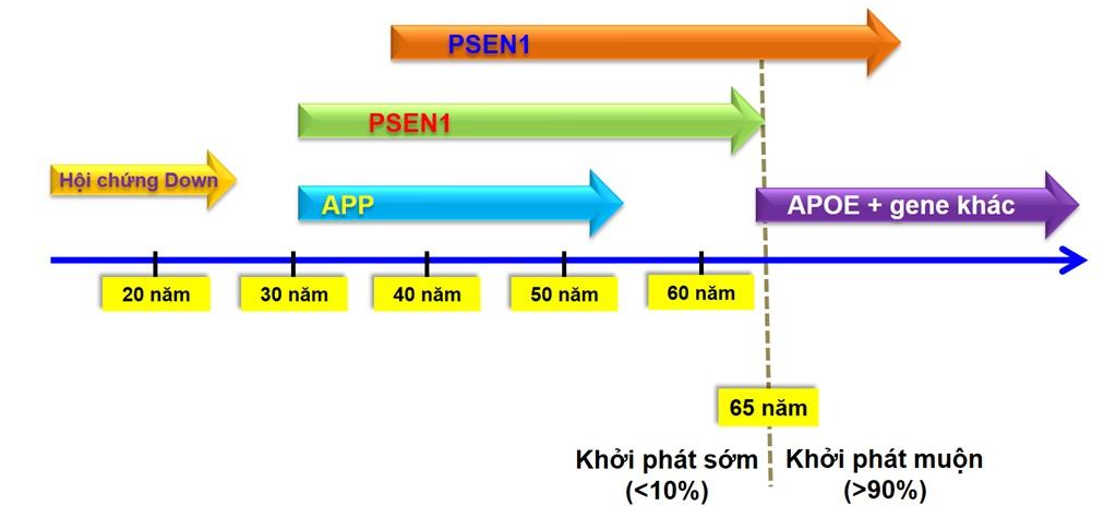 Figure 2  <i>  65 tuổi) chiếm <10%, thường liên quan đến sự khiếm khuyết di truyền ở 3 gen APP, PSEN1 và PSEN2, trong khi nhóm bệnh nhân khởi phát muộn chiếm > 90% tập trung ở độ tuổi >65, nơi vai trò biến dị của APOE và hơn 20 gen khác đã được chứng minh. </i>