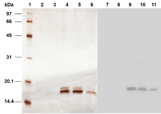 Figure 5  . Lane 1: Protein ladder, Lane 2-6: SDS-PAGE result of eluted fraction at 50%, 60%, 70%, 80% and 90% of Buffer B, respectively, Lane 7-11: Western Blotting result of eluted fraction at 50%, 60%, 70%, 80% and 90% of Buffer B, respectively.