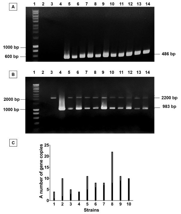 Figure 3   gene copy number of all positive transformants.