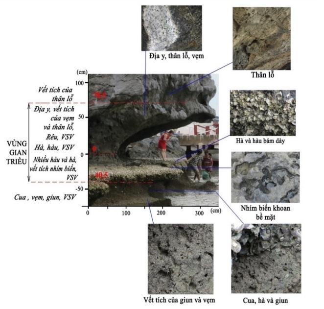 Figure 7  Sự phân bố của sinh vật theo cao độ tại hõm gặm mòn ven biển Chùa Hang
