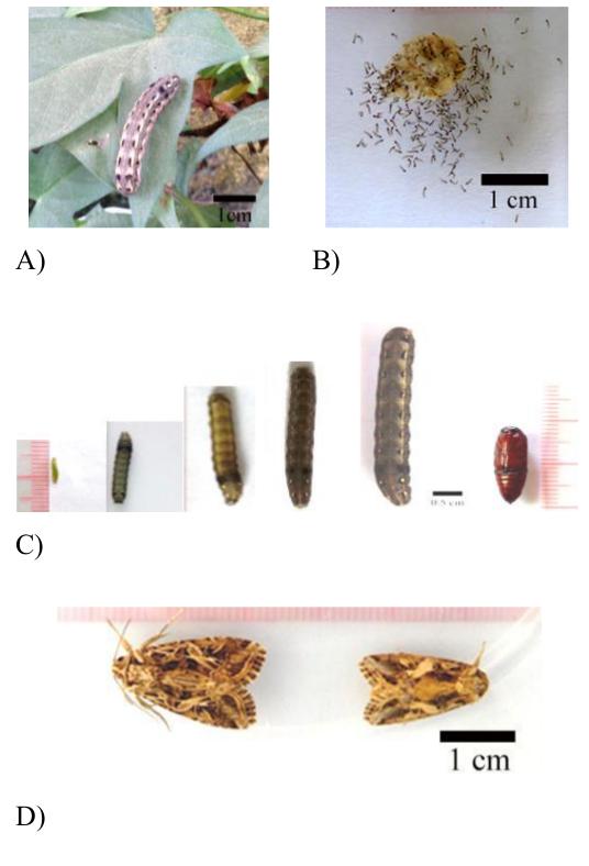 Figure 1  ) được nuôi trong điều kiện phòng thí nghiệm.