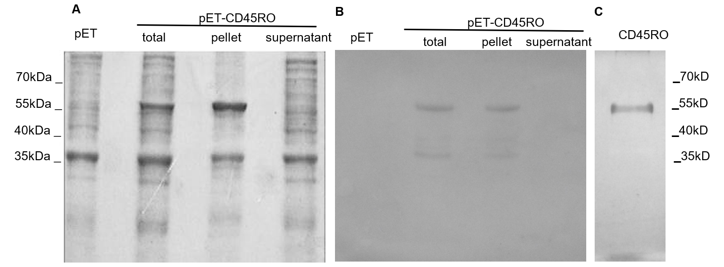 Figure 1  ): SDS-PAGE analysis and silver staining of purified recombinant CD45RO.