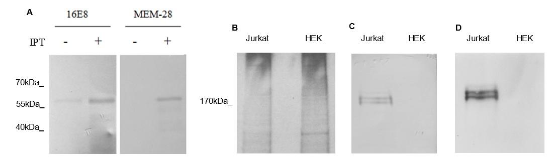 Figure 5  ) using 16E8-F2 anti-CD45 MAb.