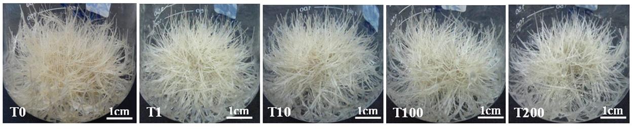 Figure 4  Rễ tơ được nuôi cấy ở các nồng độ tyrosine khác nhau ở ngày thứ 25. T0, T1, T10, T100, T200 là tyrosine ở các nồng độ 0, 1, 10, 100, 200 µM