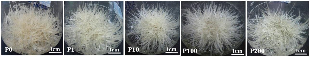 Figure 2  Rễ tơ được nuôi cấy ở các nồng độ phenylalanine khác nhau ở ngày thứ 25. P0, P1, P10, P100, P200 là phenylalanine ở các nồng độ 0, 1, 10, 100, 200 µM.