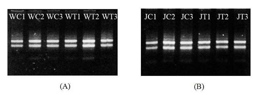 Figure 5   (giống RRIV 209) trong thí nghiệm xử lý gây tổn thương (A) và thí nghiệm xử lý MeJA (B)