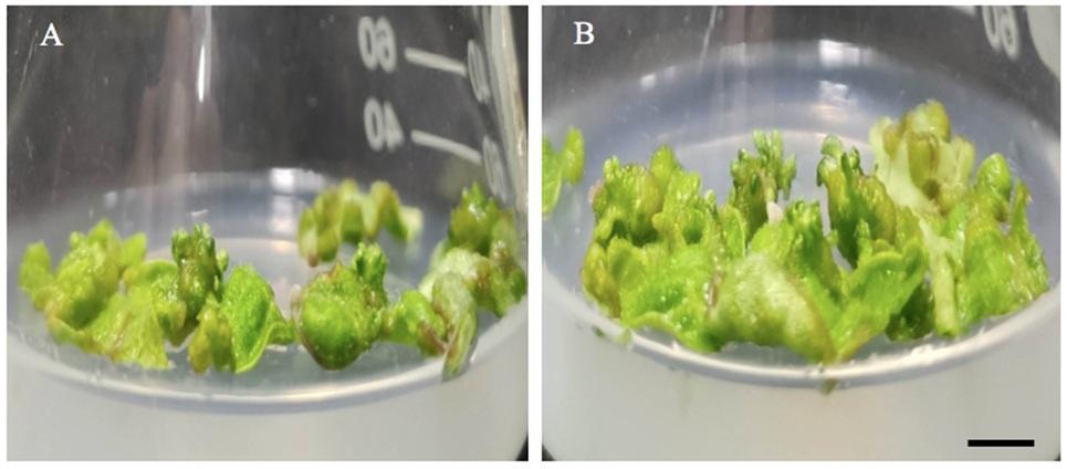 Figure 3  Ảnh hưởng của tiền xử lý hạn lên sự tái sinh chồi từ lá trên môi trường MS ½ với mannitol 20 g/L có bổ sung IAA 0,2 mg/L và zeatin 0,5 mg/L sau 14 ngày nuôi cấy. Thanh ngang 1 cm. (A) Chồi tái sinh từ lá của cây đối chứng (tăng trưởng trên môi trường MS ½)(B) Chồi tái sinh từ lá của cây được tiền xử lý hạn (tăng trưởng trên môi trường MS ½ với mannitol 20 g/L).