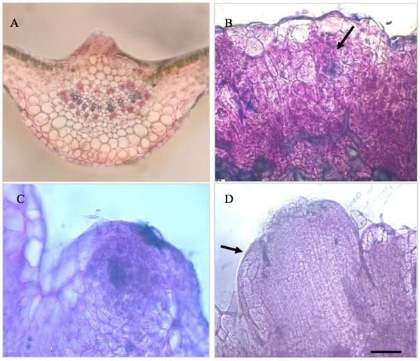 Figure 2  Các biến đổi hình thái trong quá trình phát sinh chồi từ lá cà chua được nuôi cấy trên môi trường MS ½ có bổ sung IAA 0,2 mg/L và zeatin 0,5 mg/L. Thanh ngang 50 µm. (A) Lát cắt ngang gân lá ở ngày 0; (B) Sự hình thành các vùng tế bào đang ở trạng thái phân chia (mũi tên) sau 8 ngày nuôi cấy; (C) Sự hình thành vòm mô phân sinh ngọn chồi sau 11 ngày nuôi cấy; (D) Mô phân sinh ngọn chồi với sơ khởi lá (mũi tên) sau 15 ngày nuôi cấy.
