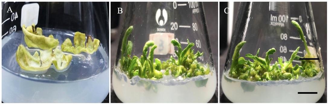 Figure 1  Ảnh hưởng của sự phối hợp IAA và zeatin ở các nồng độ khác nhau lên sự tái sinh chồi từ lá sau 28 ngày nuôi cấy. Thanh ngang 1 cm. (A) Đối chứng (MS ½); (B) IAA 0,1 mg/L và zeatin 0,5 mg/L; (C) IAA0,2 mg/L và zeatin 0,5 mg/L.