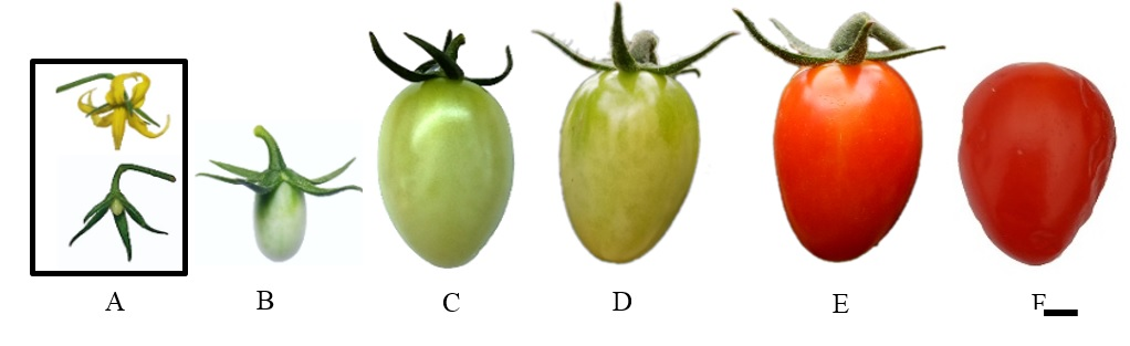 Figure 2  Trái cà chua bi 0 (A), 7 (B), 28 (C), 35 (D), 42 (E), 63 (F) ngày tuổi (thanh ngang: 5mm)