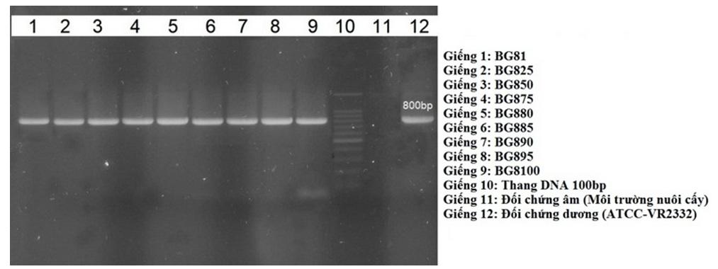 Figure 1  Sản phẩm PCR khuếch đại đoạn gene ORF5 có kích thước 800 bp và một phần đoạn gene ORF6 của chủng PRRSV cường độc gốc BG81 và các chủng qua quá trình nuôi tiếp truyền (BG825, BG850, BG875, BG880, BG885, BG890, BG895 và BG8100)