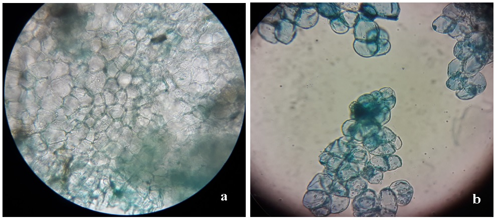 Figure 6  Tế bào mô sẹo từ lát cắt thân non Xạ đen 5 tuần tuổi dưới kính hiển vi quang học ở vậtkính x40