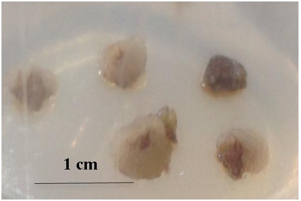 Figure 2  Mô sẹo từ lát cắt thân non Xạ đen sau 2 tuần nuôi cấy trên môi trường MS bổ sung NAA 5,0 mg/L và KIN 0,1 mg/L