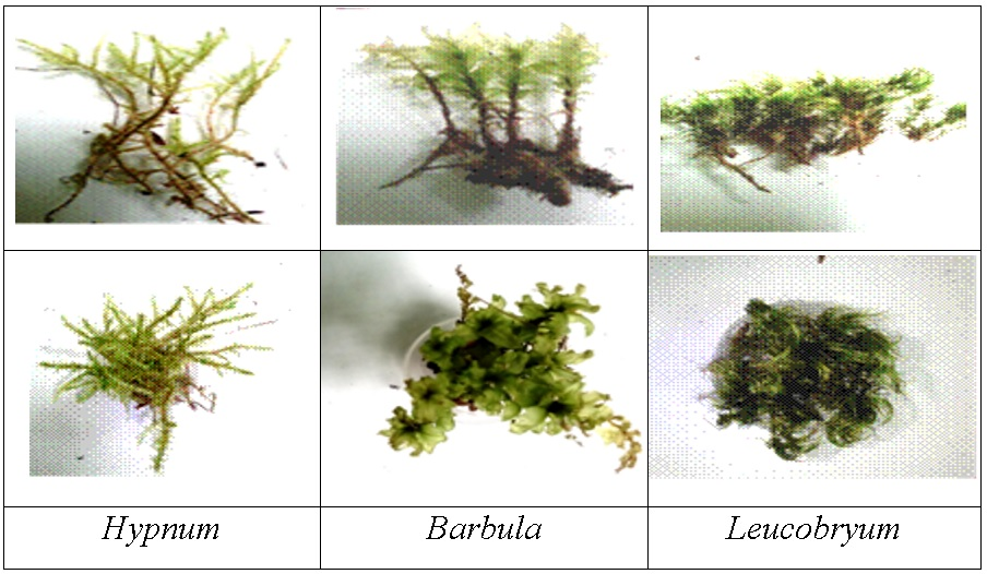 Figure 1   Hypnum usually grows in acidic environments, such as on tree trunks, walls, rocks and logs. Hypnum is about 2-10 cm tall, which is considered a small- to medium-sized moss.