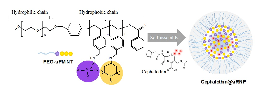 Figure 1   siRNP was prepred by self-assembly of an amphiphilic block copolymer (PEG-siPMNT), which contains the ROS scavenging nitroxide radical moieties and drug absoption silica moieties. Cephalothin was encapsulated in the core of siRNP via the hydrophobic interaction and absorption on the silica.