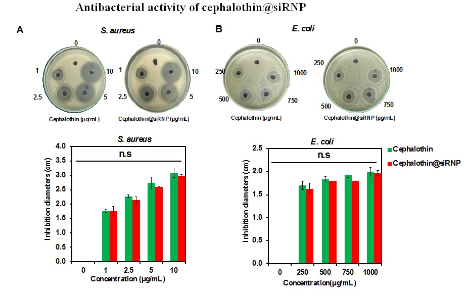 Figure 4  . Data express mean ± (SD), n=3, n.s. indicates not significant (p > 0.05). Concentrations shown in the figure indicated concentrations of cephalothin while concentrations of siRNP nanoparticles were 10 times higher than that of the drug.