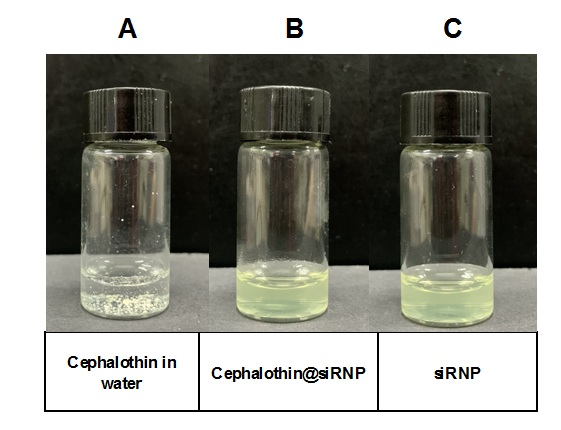 Figure 3   siRNP. Cephalothin in water exhibited low solubility with visible unsoluble particles, while cephalothin@siRNP was transparent in the aqueous solution.