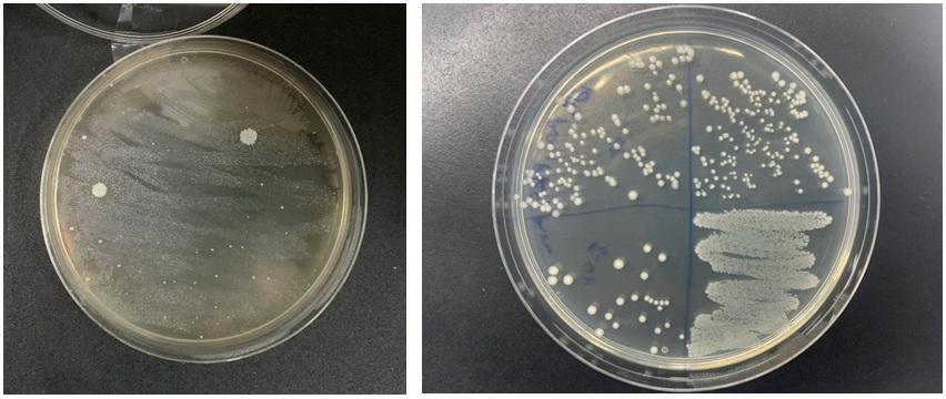 Figure 3   được cấy trải (bên trái) khi mới làm thuẩn và hoạt hoá lần thứ 24 sau 12 tháng (bên phải) trên đĩa thạch không bổ sung máu cừu cho thấy hình dạng có hơi thay đổi,  tuy nhiên vi khuẩn vẫn phát triển bình thường